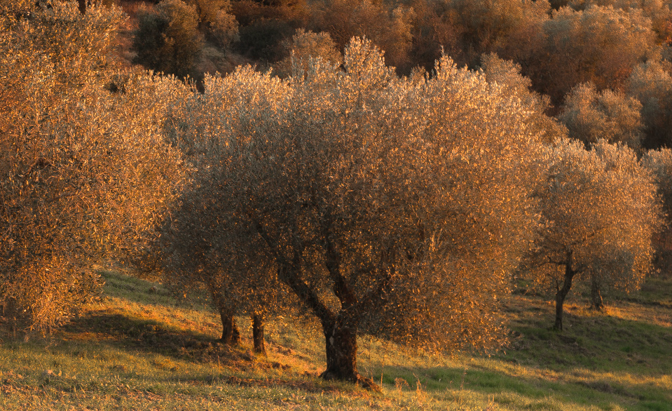 Adopt an ancient olive tree of our farm
